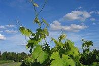 Le vignoble : village de Turquant